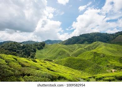 Beautiful Tea Plantation with nice blue sky