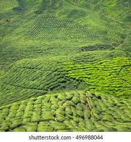 Beautiful tea plantation, picturesque hills