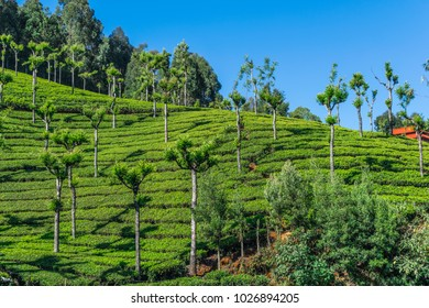 the beautiful tea plantations in ooty.