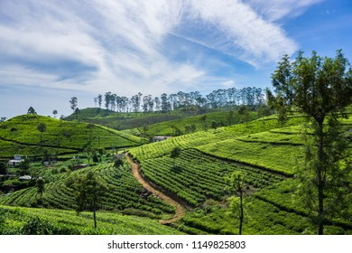 Beautiful tea plantations in Sri Lanka. the way to Lipton's seat.