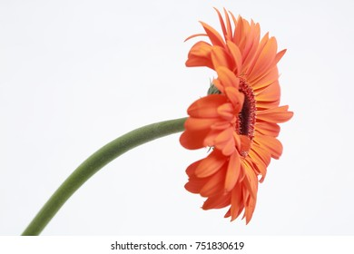 Beautiful and tender blossom gerbera flower