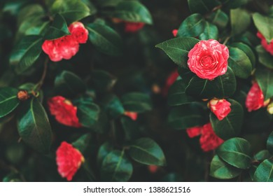 Beautiful tender blossoming red camelia flowers in spring garden