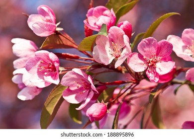 Beautiful tender cheery tree flowers border, blooming nature, first blossom, sunny day, natural border, spring time