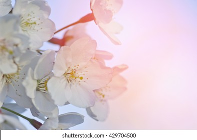 Beautiful tender cheery tree flowers on blue sky, blooming nature, first blossom, sunny day, natural border, spring time concept