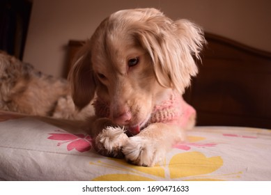 beautiful and tender dog licking her paws.
