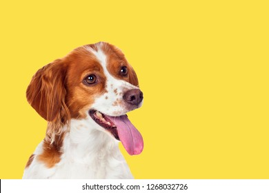 Beautiful terrier dog on a yellow background. Generation 2018