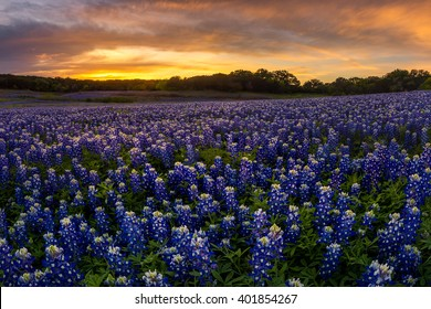 Beautiful Texas bluebonnet field in at Muleshoe Bend Recreation Area near AUstin during sunset
