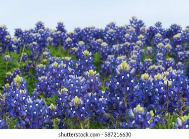 Beautiful Texas Bluebonnet Field in the spring