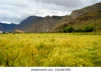 Beautiful texture created in the fields and crops by strong winds in Kargil in Jammu and Kashmir India