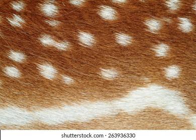 beautiful texture of fallow deer pelt ( Dama ) with lots of spots