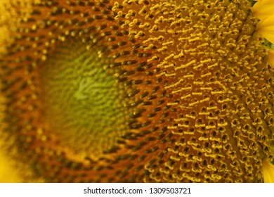 beautiful texture of pollen sunflower flora, abstract flower nature background, macro image photography