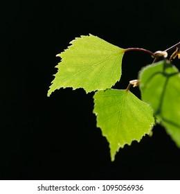 Beautiful textured backlit birch leaf by a dark background