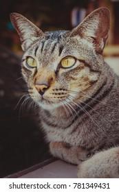 Beautiful thai cat at home in Thailand.