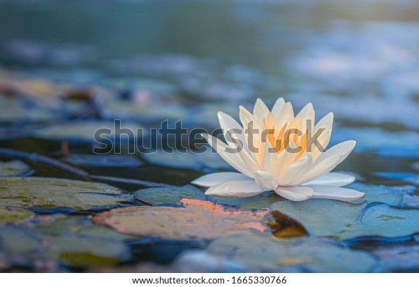Beautiful  Thai Lotus that has been appreciated with the dark blue water surface, At garden public