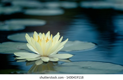 beautiful Thai lotus Used in various tasks