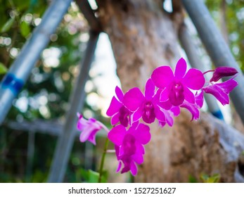 Beautiful Thai orchids grown in the garden.