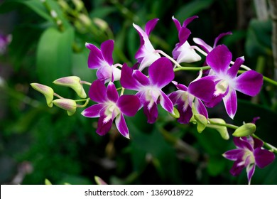 beautiful Thai purple orchid flower in the orchid farm