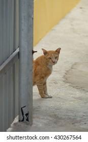 Beautiful Thai yellow cat