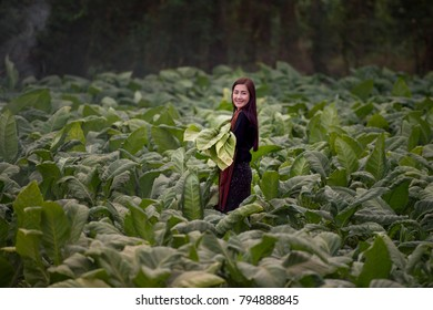 Beautiful Thailand woman working is happy,Thailand woman,Thailand culture,thailand buautiful farmer,Agricultural tobacco farm.