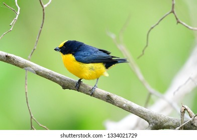 Beautiful Thick-billed Euphonia (Euphonia laniirostris) male perched on a tree branch