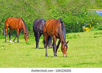 Beautiful thoroughbred Bay horses, selected focus, grazing in a Cotswold meadow in late Spring, Slad Valley, The Cotswolds, Gloucestershire, England, UK