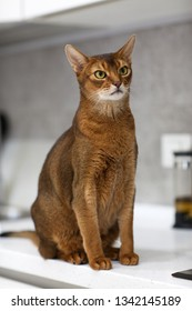 Beautiful thoroughbred cat in the interior of modern kitchen