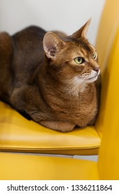 Beautiful thoroughbred cat red color in the interior of a modern apartment