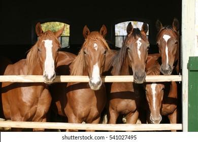 Beautiful thoroughbred foals looking over stable door summertime