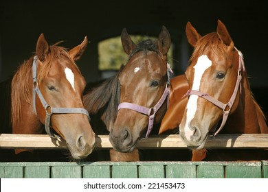 Beautiful thoroughbred horses at the barn door.  Nice thoroughbred foals in the stable door. Purebred chestnut racing horses in the barn.