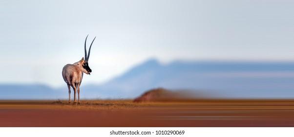 Beautiful Tibetan antelope