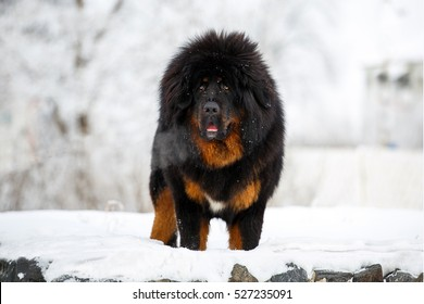 Beautiful Tibetan Mastiff in the open air. Winter landscape.