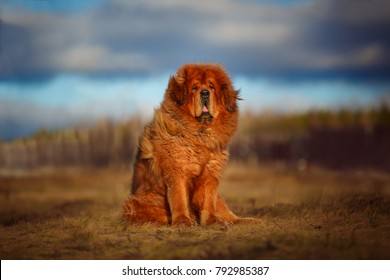 beautiful Tibetan mastiff. red dog on the background of a spectacular sky. Rural landscape.