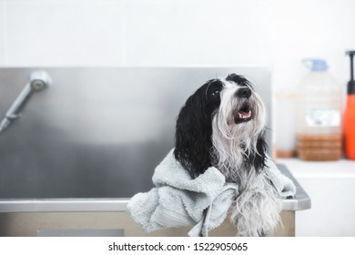 beautiful Tibetan terrier dog with soft towel after washing procedure in grooming salon, selective focus