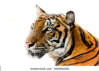 Beautiful tiger isolated on white background with