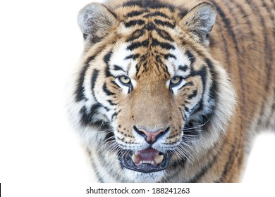 Beautiful tiger - isolated on white background