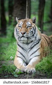 Beautiful tiger laying on the ground. Close lookup. Zoo wildlife photo.