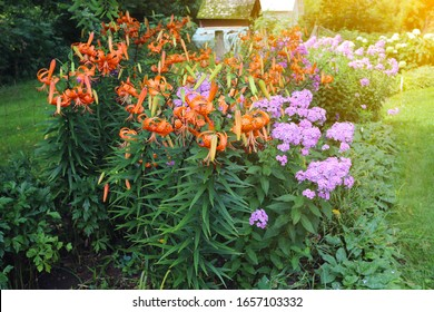 A beautiful tiger lily blossoming in the garden. Summer background.
