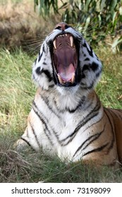 Beautiful tiger with mouth wide open showing huge teeth