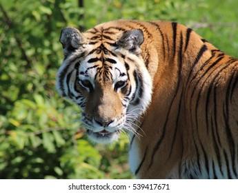 Beautiful tiger of a safari park