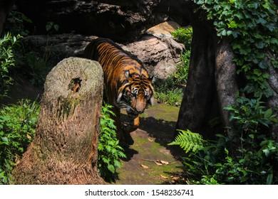 A beautiful tiger walking among the trees.