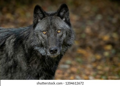 Beautiful Timber Wolf (also known as a Gray Wolf or Grey Wolf) with Black and Silver Markings