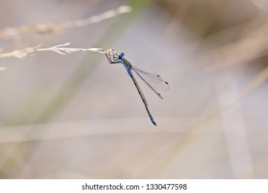 A beautiful tiny blue-green damselfly hanging on a straw (insects of Western Siberia).