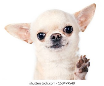 beautiful tiny chihuahua standing with paw up