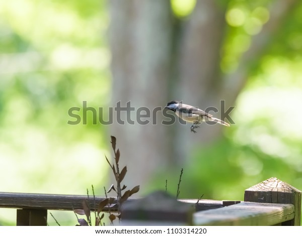 Beautiful tiny Kentucky's black capped chickadee bird leaping on deck on a twig vintage colors  Nature urban wildlife 2018