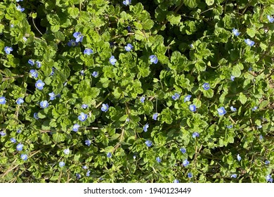 Beautiful tiny purple flowers of green Veronica persica (Persian speedwell, bird's-eye) grasses in the spring wild field, decorative spring time flowers and leaves texture wallpaper background