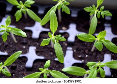 Beautiful tomato seedlings are growing. Growing tomatoes from seed.