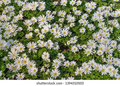 Beautiful top view and background of blooming Shasta Daisy, Leucanthemum or Superbum flowers; small tiny white petal with yellow corolla grow and cover the the ground.