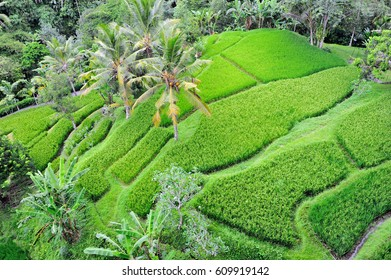 Beautiful top view of the rice terrace field in Ubud, Bali, Indonesia