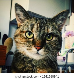 Beautiful Tortoiseshell cat sitting in kitchen staring at camera with home interior kitchen background.  Bold eyes, whiskers, pink nose and strong markings on face and fur.