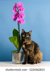 Beautiful tortoiseshell colored cat sits near pink orchid flower in studio against blue background.